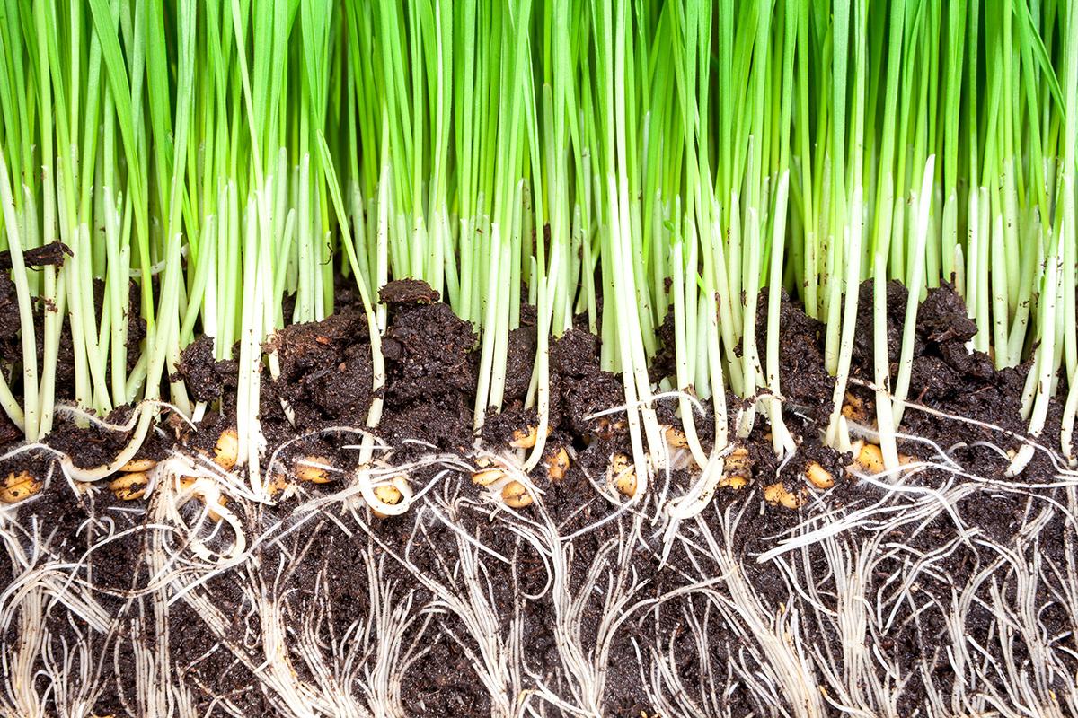 Les effets bénéfiques des mycorhizes sur les racines de gazon