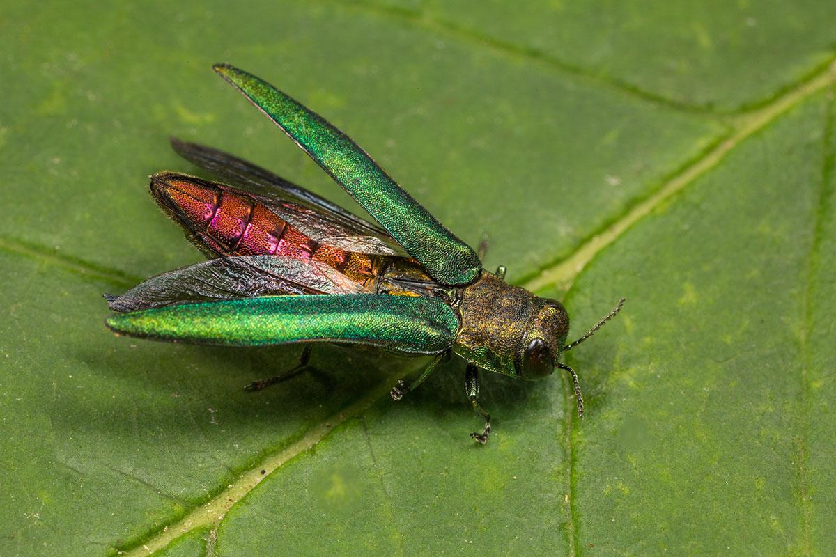 Insecte l'argile du frêne sur une feuille