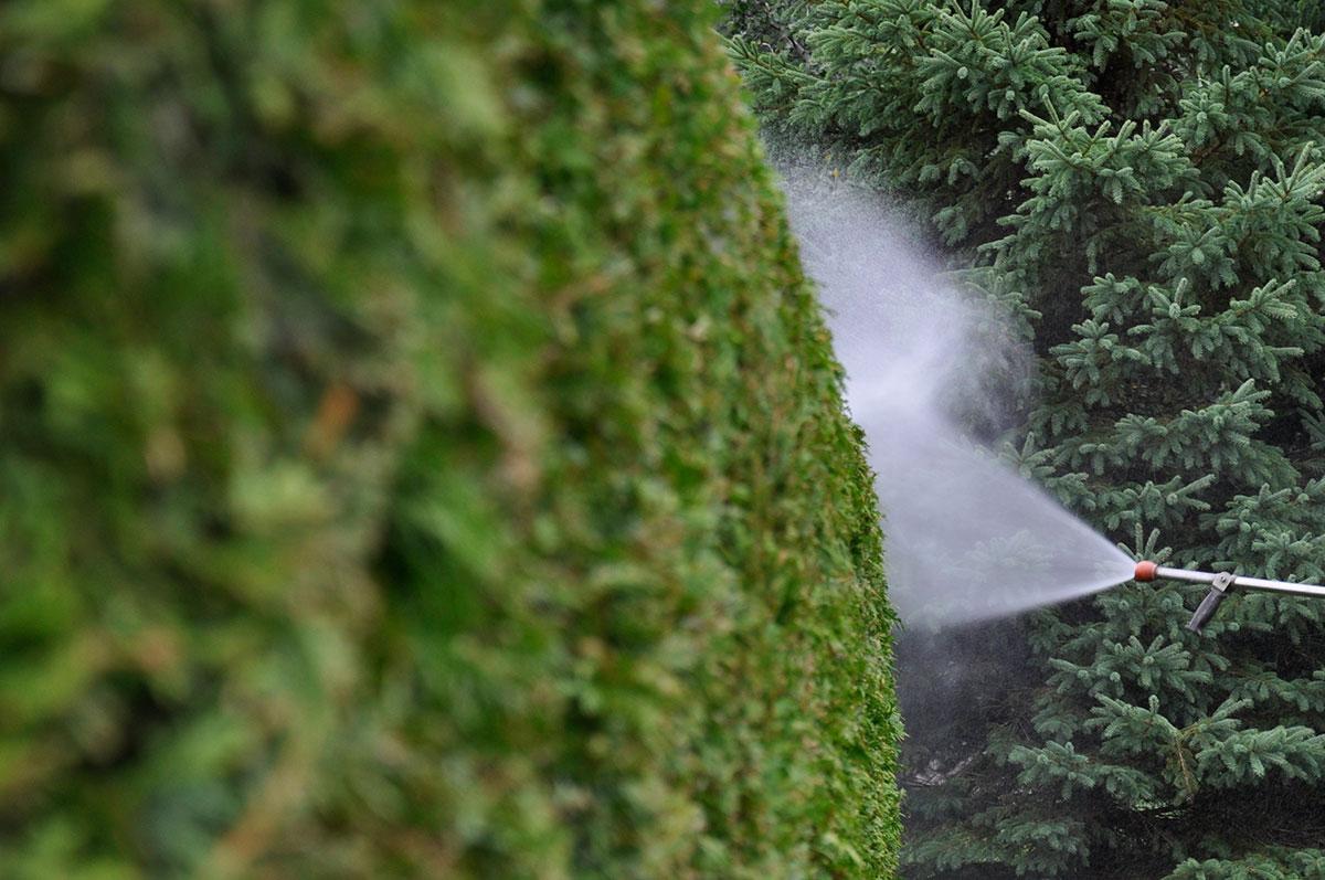 Action de la vaporisation sur une haie de cèdres, fertilisation arbre