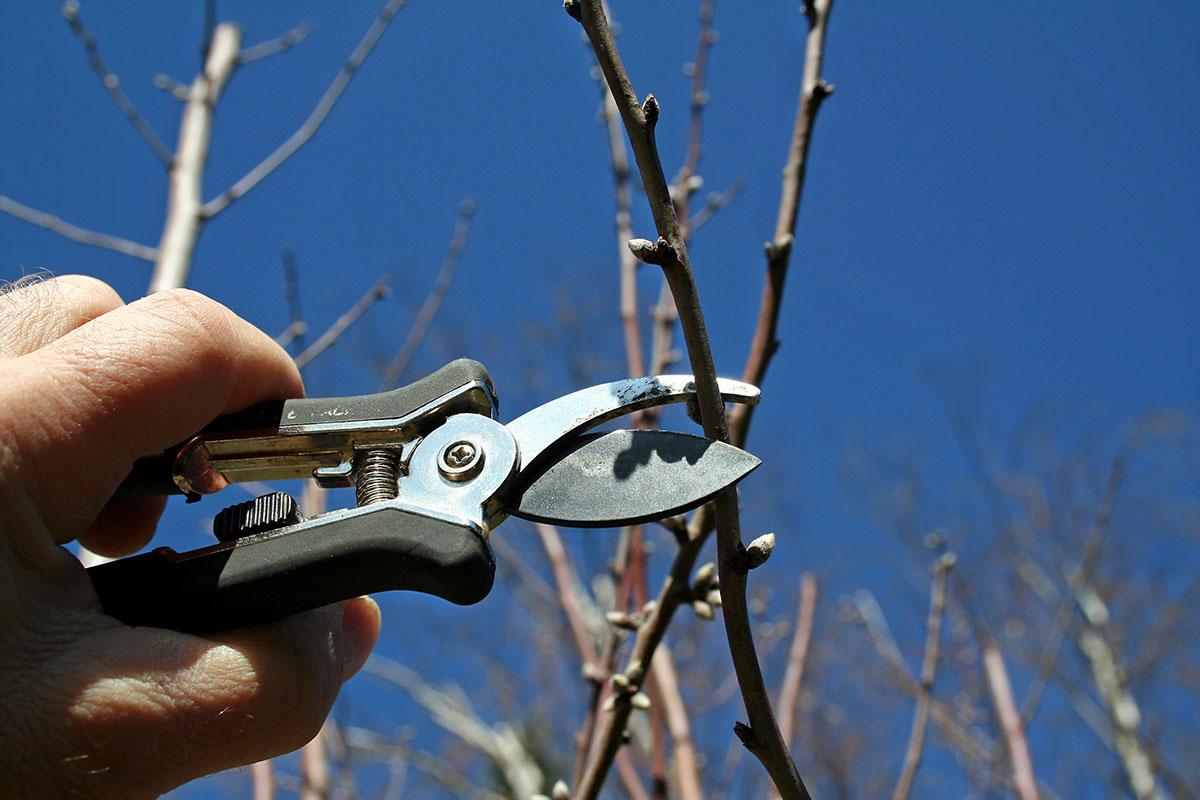 Sécateur taillant branches d'un arbre fruitier